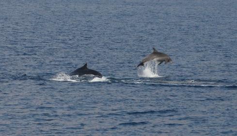 Dolphin breaches near Humpie calf