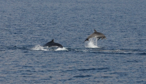 Dolphin breaches near Humpie calf