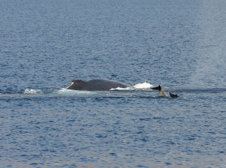 Humpback cow and dolphins 8 March 2013