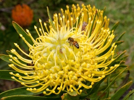 Pincushion Protea with honey bee
