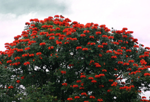 African Tulip Tree growing along the road to Nahiku, east Maui.