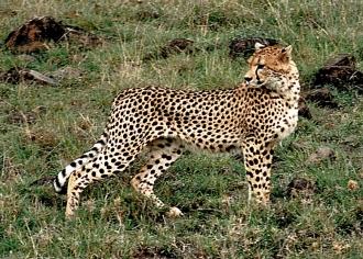 Cheetah says goodbye