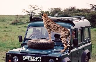 Cheetah as hood ornament: Part 1.