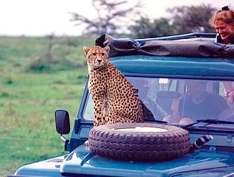 Cheetah on hood Part 2