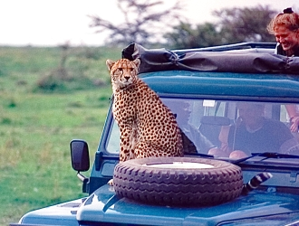 Cheetah on hood Part 2