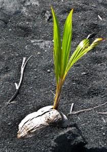 coconut germinating