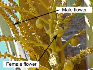 Cocos nucifera-flowers