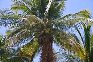 Cocos nucifera-immature coconuts