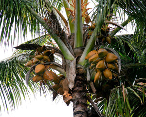 Cocos nucifera nearly ripe nuts