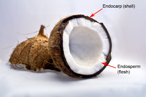 endocarp & endosperm-flesh