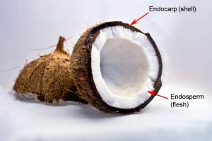 endocarp & endosperm-flesh