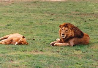 mature male lion & lioness