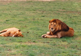 mature male lion & lioness