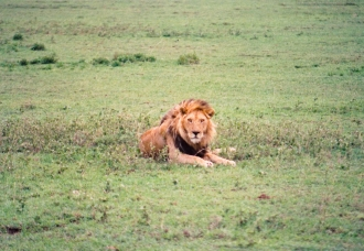Wary Male Lion - Ngorongoro Crater
