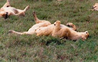 female Lion Ngorongoro Crater