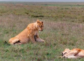 two female lions Ngorongoro Crater