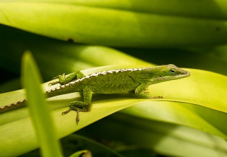 Female Green Anole 3