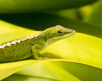 Female Green Anole 2