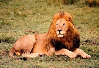 Male Lion Ngorongoro Crater