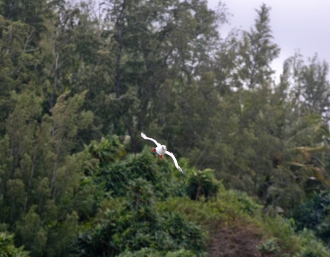 An adult bird whizzes just above the treetops, riding the updrafts in the cove near the lighthouse.
