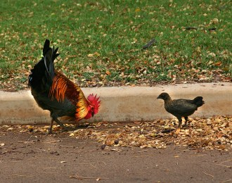 Rooster and chick - Kihei