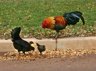Jungle fowl rooster, hen and two fledged youngsters.