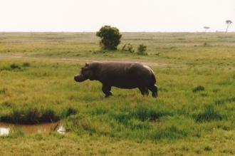 walking hippo - Lake Manyara