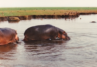 male hippos - Lake Manyara
