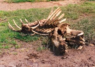 hippo carcass - Lake Manyara