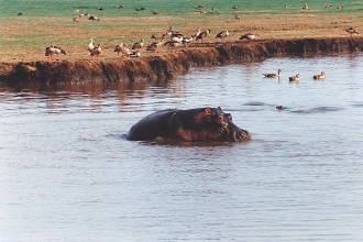 hippo & ducks - lake manyara