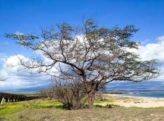 Kiawe tree, Kealia Beach, Maui