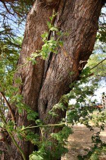 Bark & foliage of a Kiawe tree