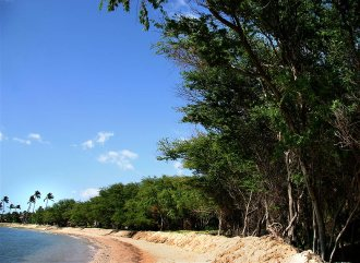 Continuous canopy of kiawe trees