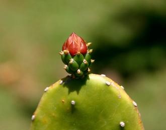 cactus bud