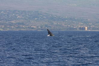 calf breaching - 19 Jan