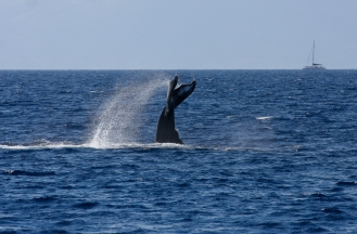 Some researchers believe fluke slapping to be a behavior calculated to attract attention or communicate in some way with other whales. 9 February 2014