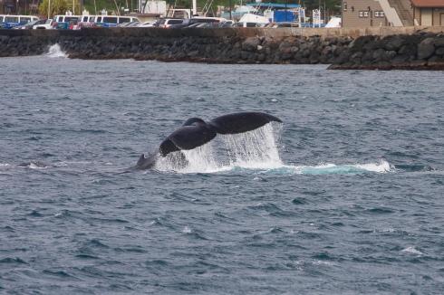 Whale outside Ma'alae Harbor fluke-slapping