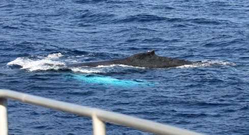 A mature Humpback whale swims past, a few meters from my boat.