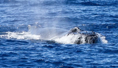 "As it cuts across the bow of my boat, a speeding Humpback lifts its head above the surface, displaying the many small protuberances (called ""tubercles"")  and the larger blowhole crest that serves as a splash-guard for its nasal openings (""nares""). 5 January 2014"