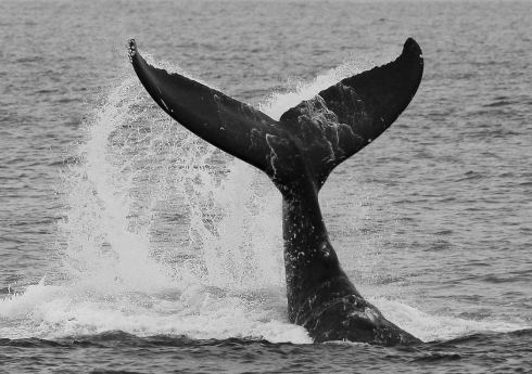 "A young-adult Humpback lifts its massive tail (""flukes"" ) high out of the water to slam in down again on the surface with a resounding crack that can be heard for miles in all directions. ""Fluke slapping"" may be a form of communication with other whales, especially when repeated for several minutes in succession, as this whale did. Note the small colonies of barnacles on the tips of the flukes. 2 March 2014"