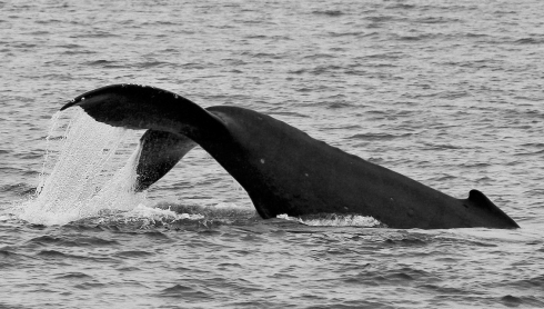 "A Humpback calf, only a few weeks old, lifts the lower half of its body (the ""caudal peduncle"") out of the water as it performs scores of fluke-slaps, seemingly just for the sheer joy of doing it! 2 March 2014"