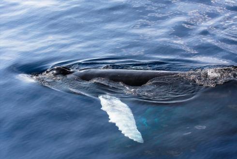 A curios Humpback whale calf
