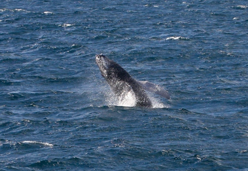 Doing an acrobatic backward-facing breach, a newborn Humpback displays its ventral pleats (linear accordion-like grooves) that allow Humpies to expand the volume of their mouth cavities. 25 January 2014.