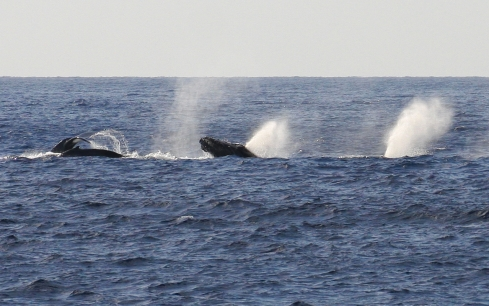 The members of this surface-active competition pod exhibited every kind of whale behavior in the book as it led my boat a merry chase for several miles. 28 February 2013