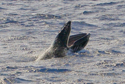 A young Humpback whale calf racing ahead of its mother throws open its jaws to take a much-needed breath, exposing the row of baleen lining its upper jaw. (Click on image to see a larger version.) 9 March 2014