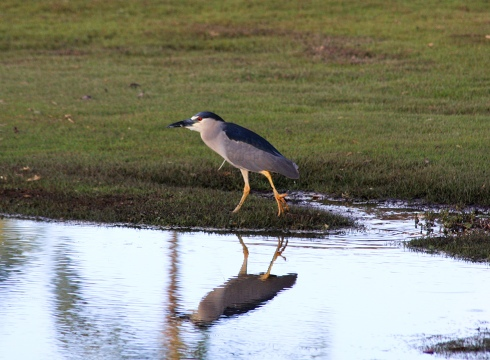 Black-Crowned Night Heron - Kihei, Maui - 19 March 2011