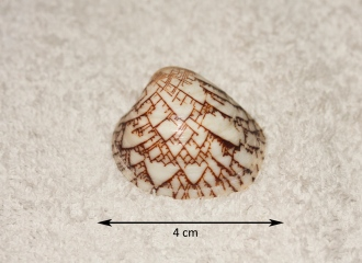 Ornate Clam (Lioconcha ornata)