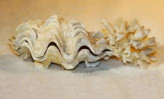 Tridacna and coral