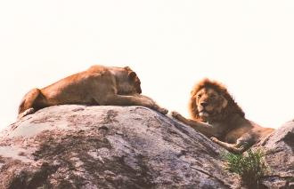 kopje lions serengeti 2-