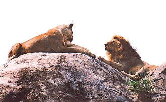 Kopje_lions-Serengeti